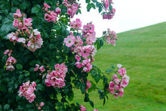 桃红色花布什领域 库存照片