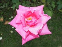 桃红色花开花 库存照片