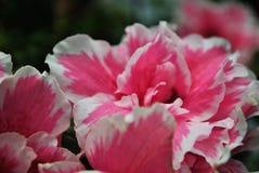 桃红色花开花 库存图片