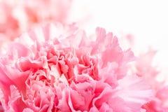 桃红色花摘要,康乃馨 库存照片