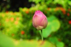 桃红色花是菩萨 免版税库存图片