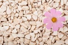 桃红色花本质上 它在岩石的岩石增长 免版税图库摄影