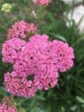 桃红色花束 库存图片