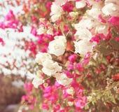 桃红色花植物在晴天 库存照片