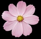 桃红色花樱草属 与裁减路线的黑色被隔绝的背景 特写镜头 免版税库存照片