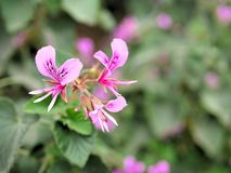 桃红色花特写镜头与绿色的在蝴蝶庭院离开在圣芭卜拉加利福尼亚 有bokeh的宏观透镜网横幅的a 免版税库存图片