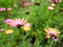 桃红色花特写镜头与绿色的在蝴蝶庭院离开在圣芭卜拉加利福尼亚 有bokeh的宏观透镜网横幅的a 免版税图库摄影