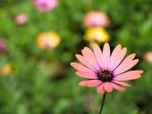 桃红色花特写镜头与绿色的在蝴蝶庭院离开在圣芭卜拉加利福尼亚 有bokeh的宏观透镜网横幅的a 库存图片