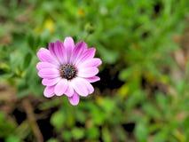 桃红色花特写镜头与绿色的在蝴蝶庭院离开在圣芭卜拉加利福尼亚 有bokeh的宏观透镜网横幅的a 免版税库存照片
