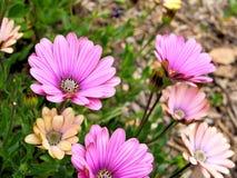 桃红色花特写镜头与绿色的在蝴蝶庭院离开在圣芭卜拉加利福尼亚 有bokeh的宏观透镜网横幅的a 库存照片
