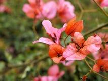 桃红色花特写镜头与绿色的在蝴蝶庭院离开在圣芭卜拉加利福尼亚 有bokeh的宏观透镜网横幅的a 图库摄影