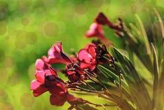 桃红色花特写镜头在日落的 Bokeh作用 夹竹桃夹竹桃 库存图片