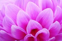 桃红色花特写镜头有花卉背景 免版税库存照片