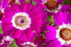桃红色花瓜叶菊关闭作为背景 库存图片
