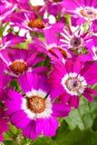 桃红色花瓜叶菊关闭作为背景 库存照片