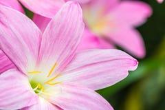 桃红色花瓣抽象背景, Zephyranthes rosea, R 免版税库存图片