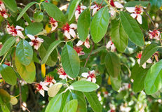 桃红色花用一棵红色欧洲甜樱桃在春天晴天开花在庭院里 免版税库存照片