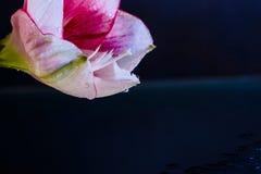 桃红色花用水滴下在深蓝背景 图库摄影