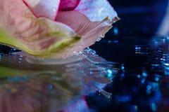 桃红色花用水滴下在深蓝背景 免版税图库摄影