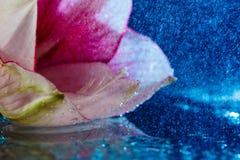 桃红色花用水滴下在深蓝背景 免版税库存照片
