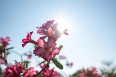 桃红色花的关闭与日落 免版税库存图片