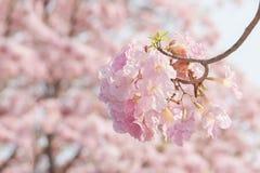桃红色花的浪漫春天 免版税库存照片