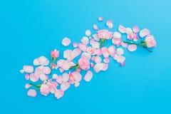 桃红色花纹理 玫瑰在蓝色背景的花瓣和芽安排 平的位置,顶视图 红色上升了 库存图片