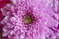 桃红色花翠菊头用水下降,宏观照片 图库摄影