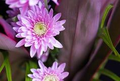 桃红色花翠菊,一部分宏指令的花束2 库存照片