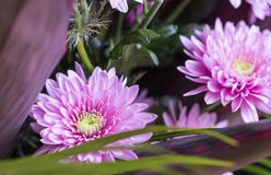 桃红色花翠菊,一部分宏指令的花束1 免版税库存照片