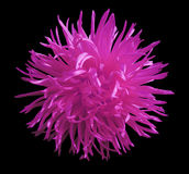 桃红色花翠菊,染黑与裁减路线的被隔绝的背景 特写镜头 免版税图库摄影