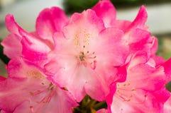 桃红色花花束-春天 图库摄影