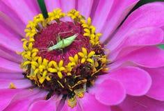 桃红色花讽世者宏观照片  夏天美丽的花 免版税图库摄影