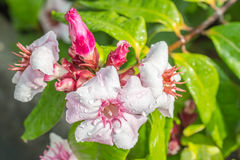 桃红色花,上升的夹竹桃, Strophanthus gratus墙壁 & Ho 免版税库存照片