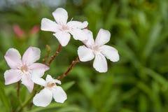 桃红色花,四朵花,绿色背景 免版税库存照片