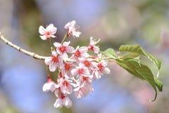 桃红色花,在土井Pha Hee的樱花 免版税库存照片