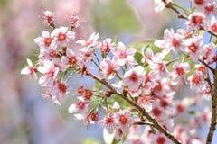 桃红色花,在土井Pha Hee的樱花 免版税库存图片