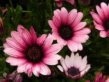桃红色花,庭院,外面 库存图片