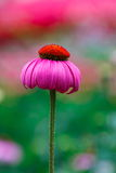 桃红色花,海胆亚目,海胆亚目在庭院里 图库摄影