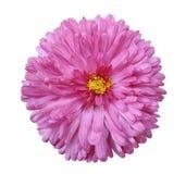 桃红色花,白色隔绝了与裁减路线的背景 特写镜头 免版税库存图片