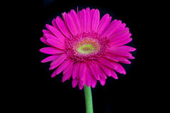 桃红色花,隔绝在黑背景 免版税库存照片