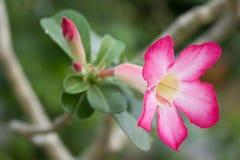 桃红色花,绿色叶子,美好的明亮的颜色 库存图片