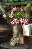 桃红色花, Adenium obesum树 免版税图库摄影