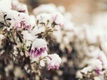 桃红色花洒与下落的雪 免版税库存图片