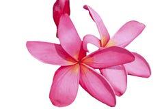 桃红色花绽放白色背景 免版税库存图片