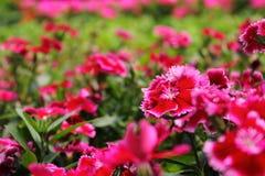 桃红色花(牡丹)在庭院里 图库摄影
