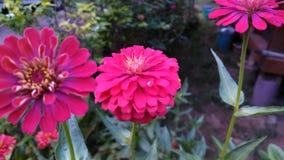 桃红色花 库存图片