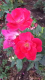 桃红色花 图库摄影