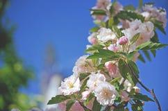 桃红色苹果开花在春天蓝天下 免版税库存图片