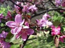 桃红色苹果开花在阳光下 免版税图库摄影